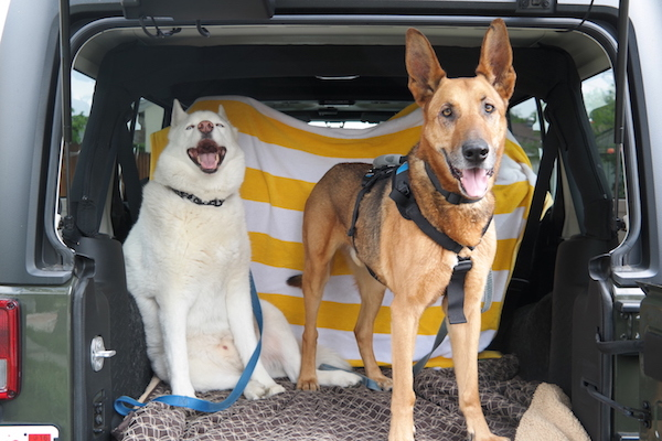 Dogs in the back of Jeep Wrangler