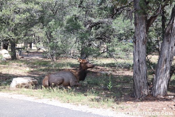 Mather Campground Grand Canyon Elk