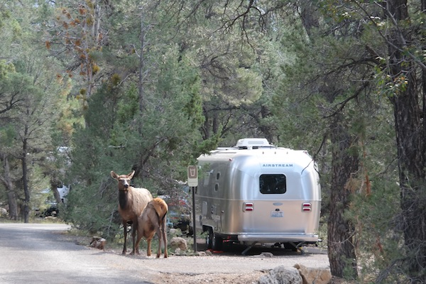 Mather Campground Grand Canyon Wildlife