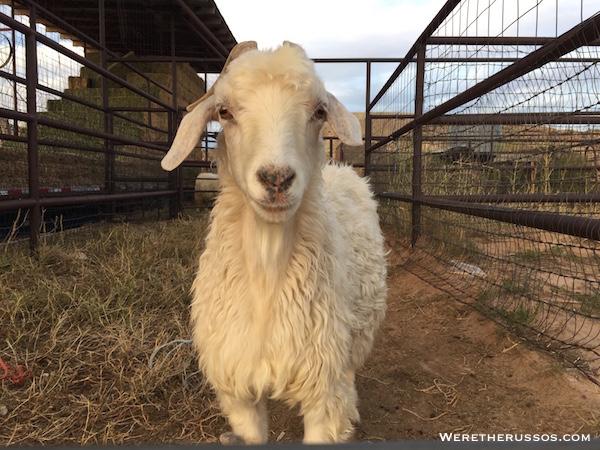 Teec Nos Pos Trading Post sheep