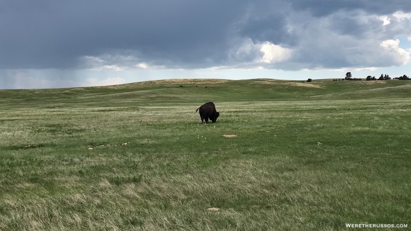 Bison at Wind Cave National Park
